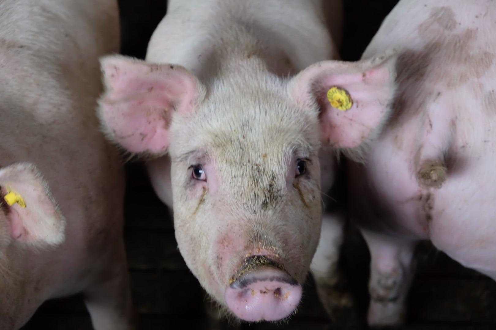 Ein vitales und ideal gefüttertes Mastschwein.