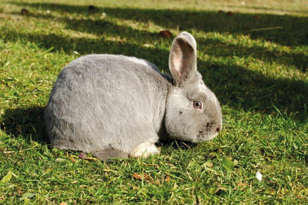 Ein vitales und gut versorgtes, graues Kaninchen sitzt auf der Wiese.