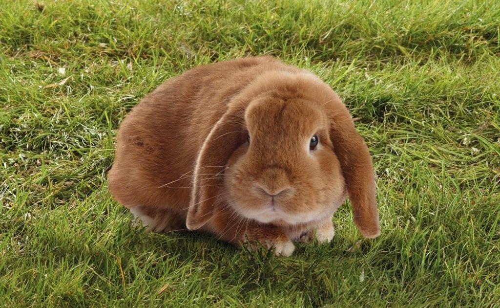 Ein mit Vitaminen und Mineralstoffen versorgtes braunes Kaninchen.