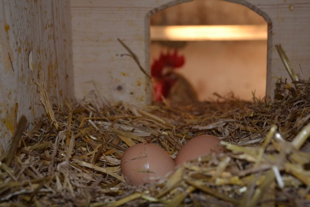 Zwei Eier liegen im Stroh im Hühnerstall.