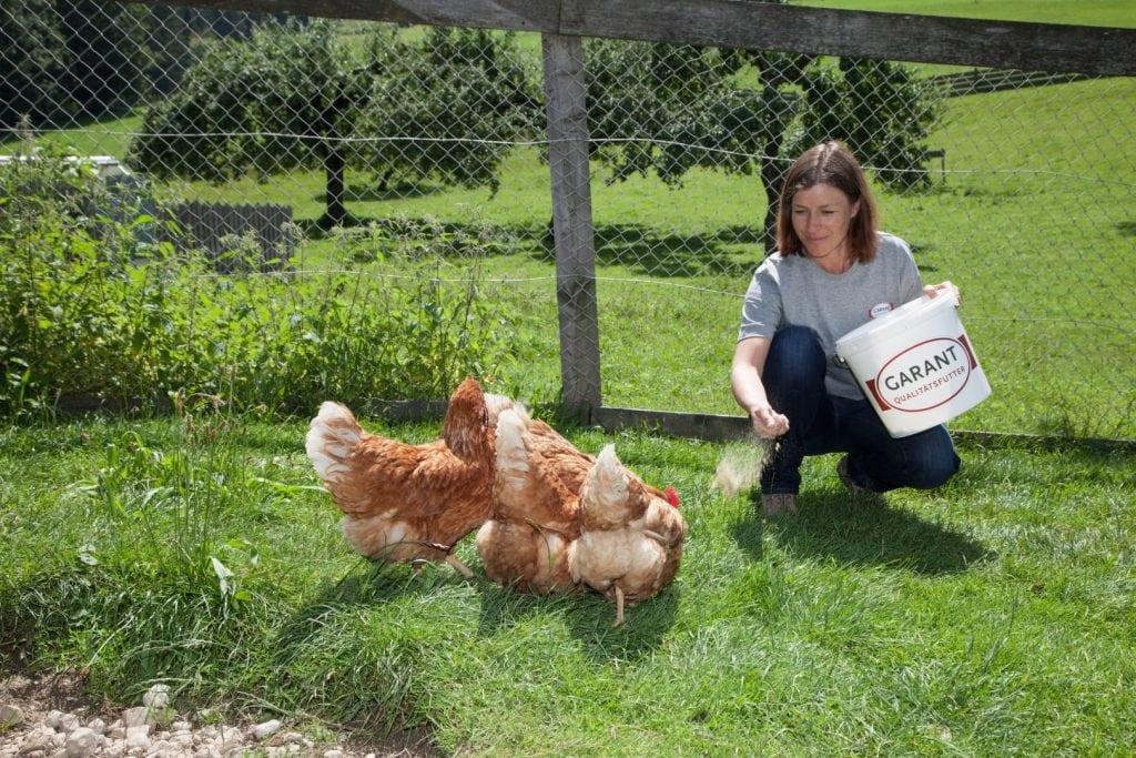 Drei Hühner werden mit Muschelgrit gefüttert.