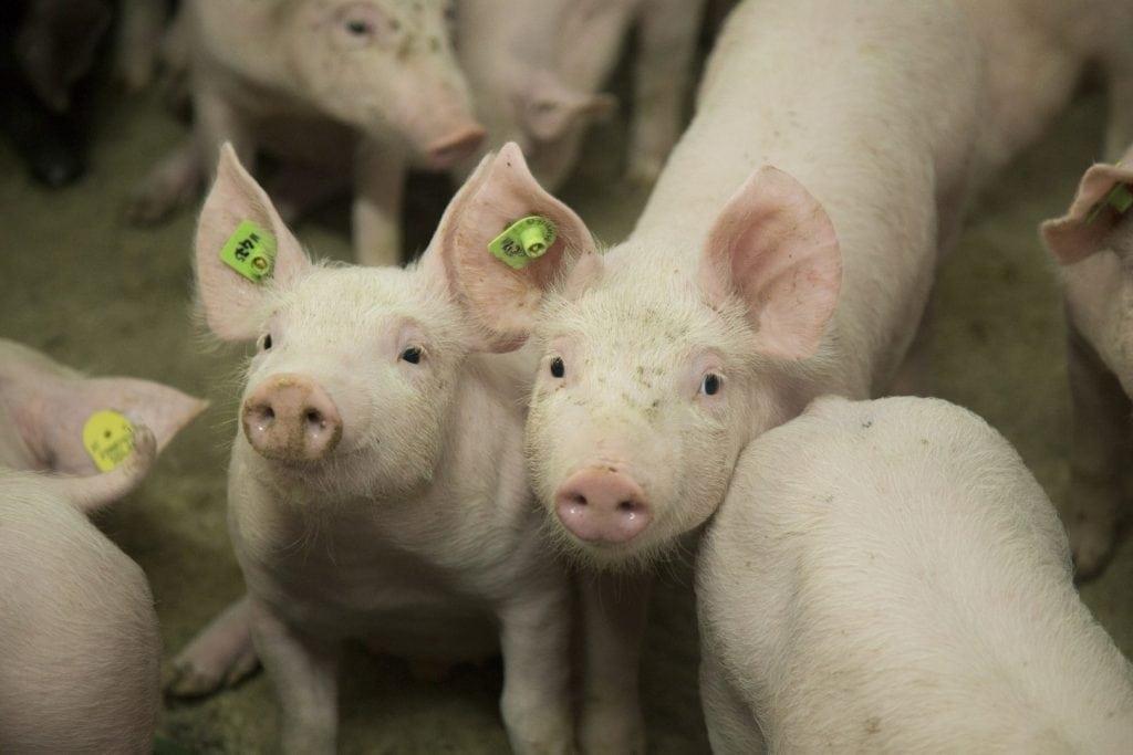 Zwei Schweine stehen nebeneinander im Stall.