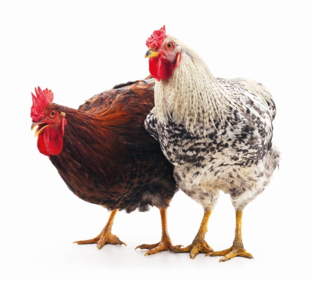 Ein rotbraunes und ein graues Huhn.