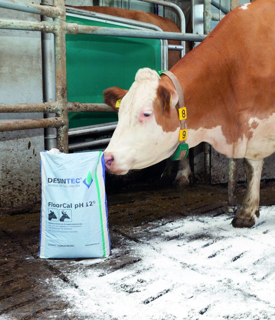 Sack mit Hygienekalk steht neben einer Kuh im Rinderstall