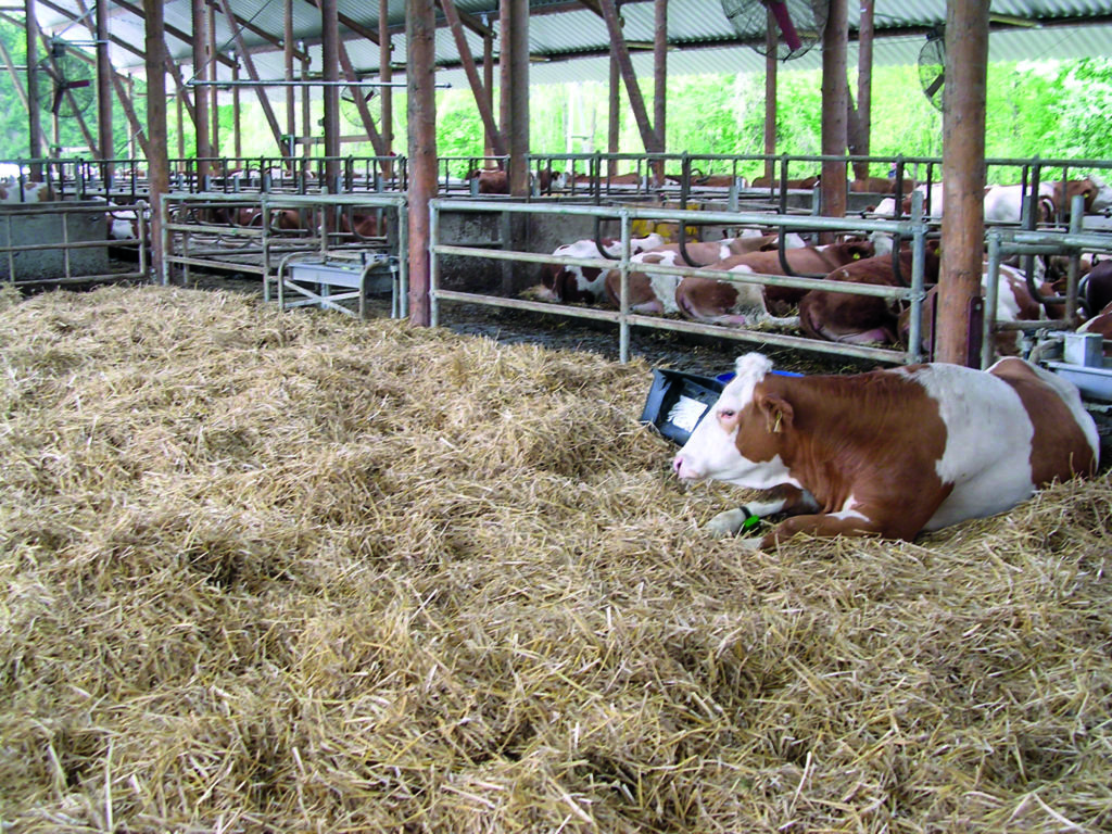 Fleckvieh-Kuh liegt auf Stroh