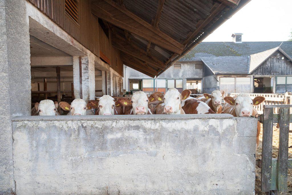 Milchkühe schauen neugierig über die Stallmauer