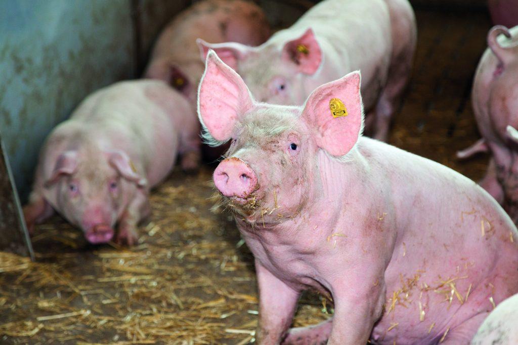 Optimal gefüttertes Mastschwein im Maststall