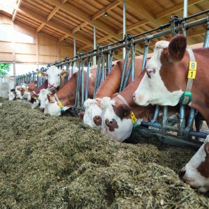 Milchkühe im Kuhstall fressen Silage und Kraftfutter